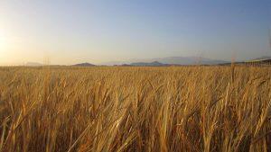 عکس مزرعه گندم برای مت پینتینگ – Picture Wheat Field