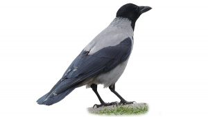 Photo Crow For Matte Painting